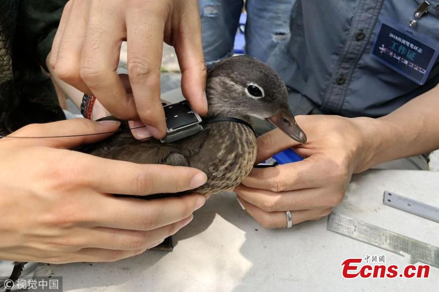 Photo taken on June 21, 2018 shows experts with the National Bird Banding Center applying identification rings and GPS devices to mandarin ducks in West Lake, Hangzhou City, East China's Zhejiang Province. It is the first time that mandarin ducks have been banded to understand their range of activity and migration behavior. (Photo/VCG)