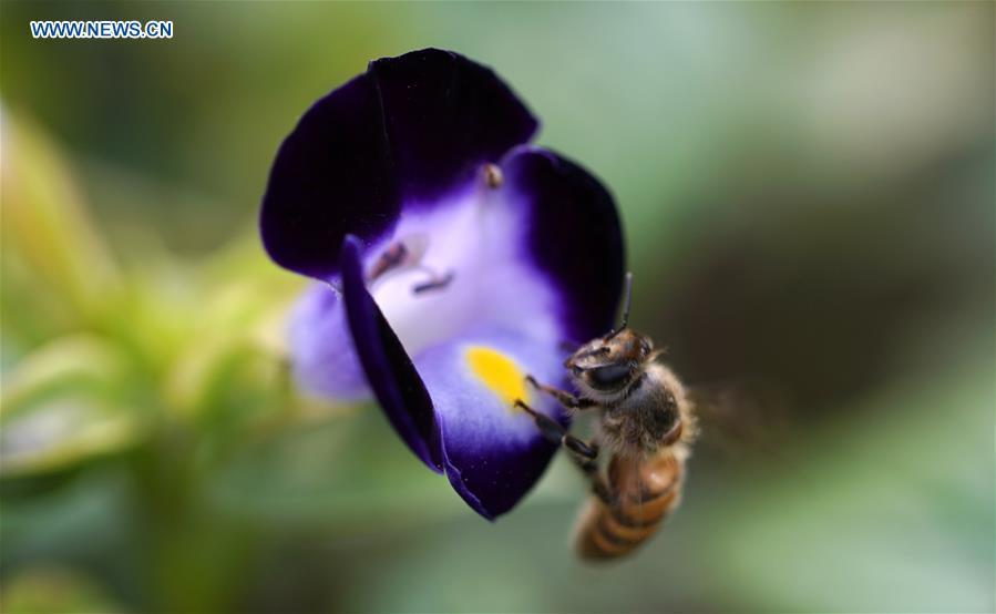 A bee gathers honey on a blooming flower at the Slender West Lake scenic spot in Yangzhou City, east China\'s Jiangsu Province, June 21, 2018. (Xinhua/Meng Delong)
