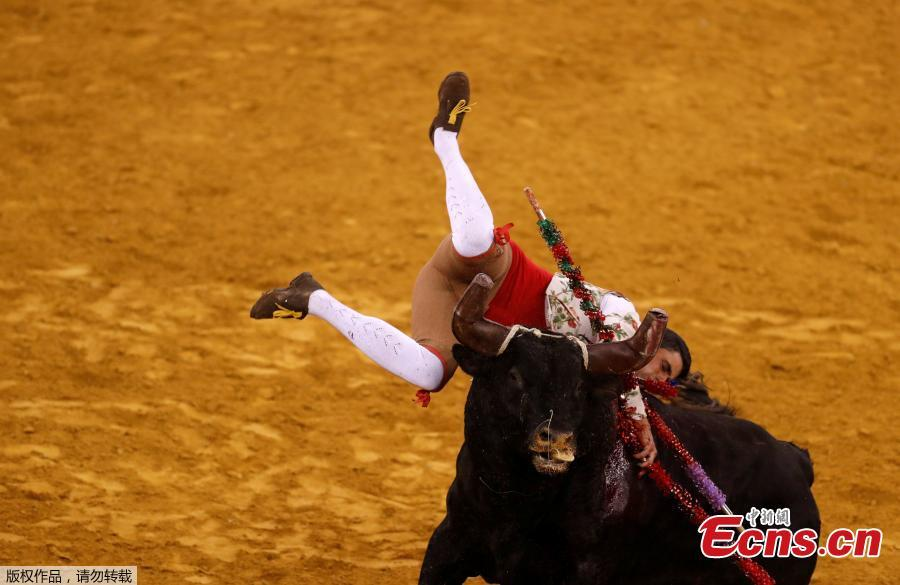 A member of Monsaraz forcados group performs during a bullfight at Campo Pequeno bullring in Lisbon, Portugal, June 21, 2018. (Photo/Agencies)