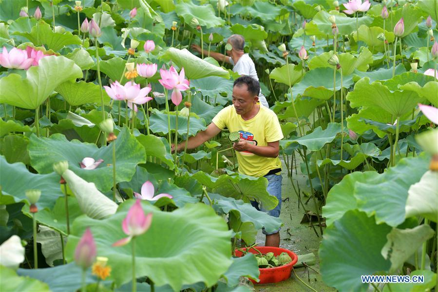 Villagers collect lotus seedpods in Xinzeng Village of Xinjian District of Nanchang City, east China\'s Jiangxi Province, June 22, 2018. To improve benefit, Xinjian District built a 133-hectare lotus plantation base. (Xinhua/Peng Zhaozhi)