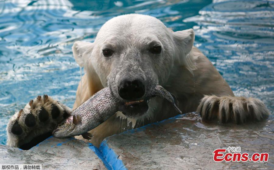 Aurora, an eight-year-old female polar bear, eats a trout in a pool during a hot summer day at the Royev Ruchey zoo in Krasnoyarsk, Russia June 21, 2018.  (Photo/Agencies)