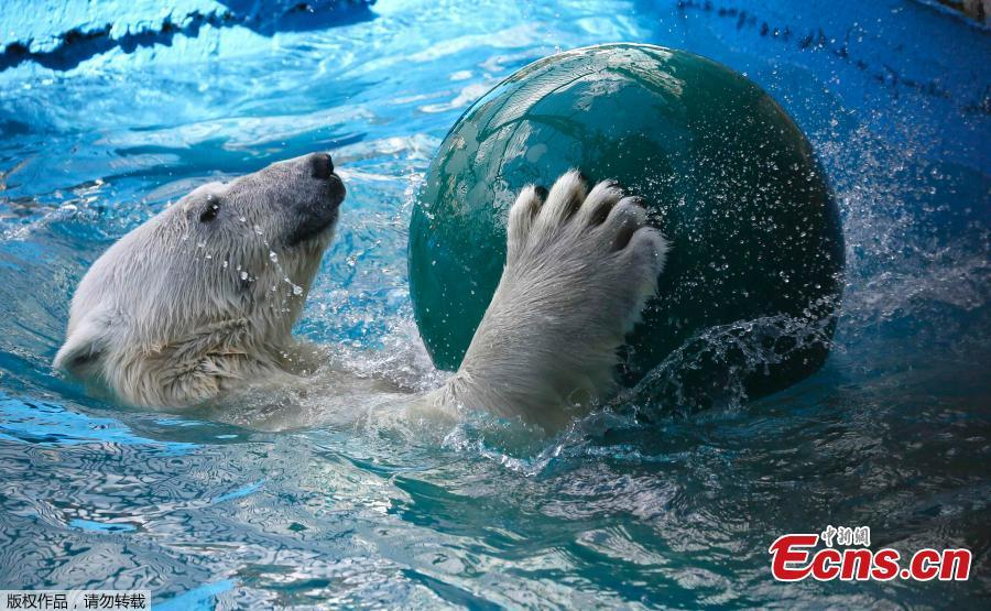 Aurora, an eight-year-old female polar bear, plays with a ball in a pool during a hot summer day at the Royev Ruchey zoo in Krasnoyarsk, Russia. (Photo/Agencies)