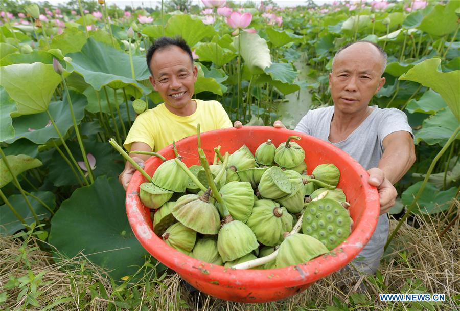 Villagers show newly-collected lotus seedpods in Xinzeng Village of Xinjian District of Nanchang City, east China\'s Jiangxi Province, June 22, 2018. To improve benefit, Xinjian District built a 133-hectare lotus plantation base. (Xinhua/Peng Zhaozhi)