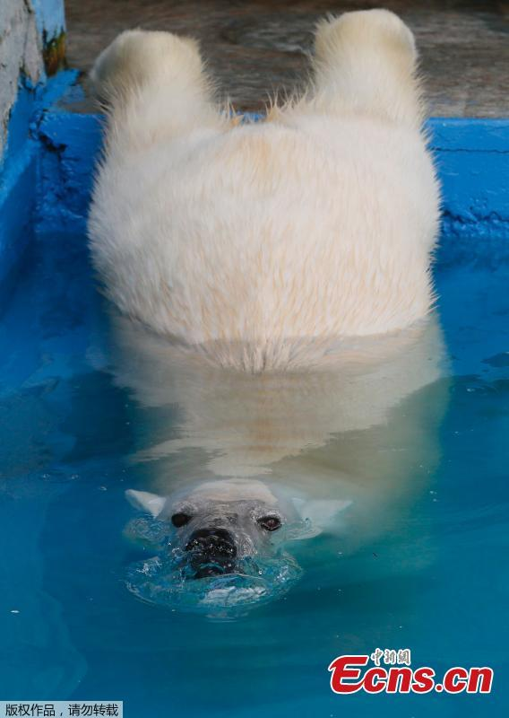 Aurora, an eight-year-old female polar bear, swims in a pool during a hot summer day at the Royev Ruchey zoo in Krasnoyarsk, Russia June 21, 2018.  (Photo/Agencies)