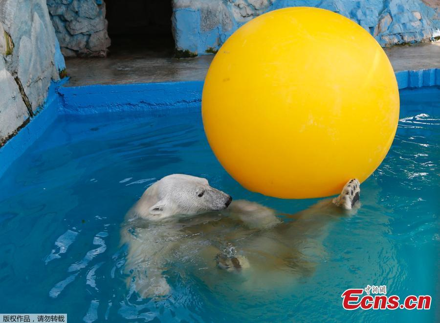 Aurora, an eight-year-old female polar bear, plays with a ball in a pool during a hot summer day at the Royev Ruchey zoo in Krasnoyarsk, Russia June 21, 2018. (Photo/Agencies)
