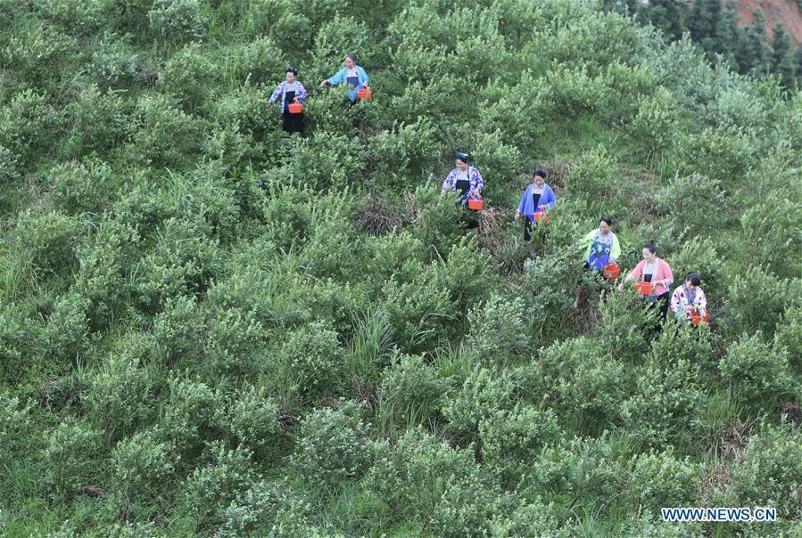 Villagers pick blueberries at a blueberry planting farm in Gaolan Village in Rongshui Miao Autonomous County, south China\'s Guangxi Zhuang Autonomous Region, June 23, 2018. In recent years, the village has encouraged poverty-stricken villagers to plant blueberry as a way to get rid of poverty. (Xinhua/Huang Xiaobang)