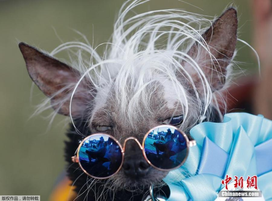 Rascal Deux is held by owner Dane Andrew before competing in the World\'s Ugliest Dog Contest at the Sonoma-Marin Fair in Petaluma, Calif., June 23, 2018. The dogs walk down a red carpet and are evaluated by a panel of judges. The winner takes home $1,500. (Photo/Agencies)