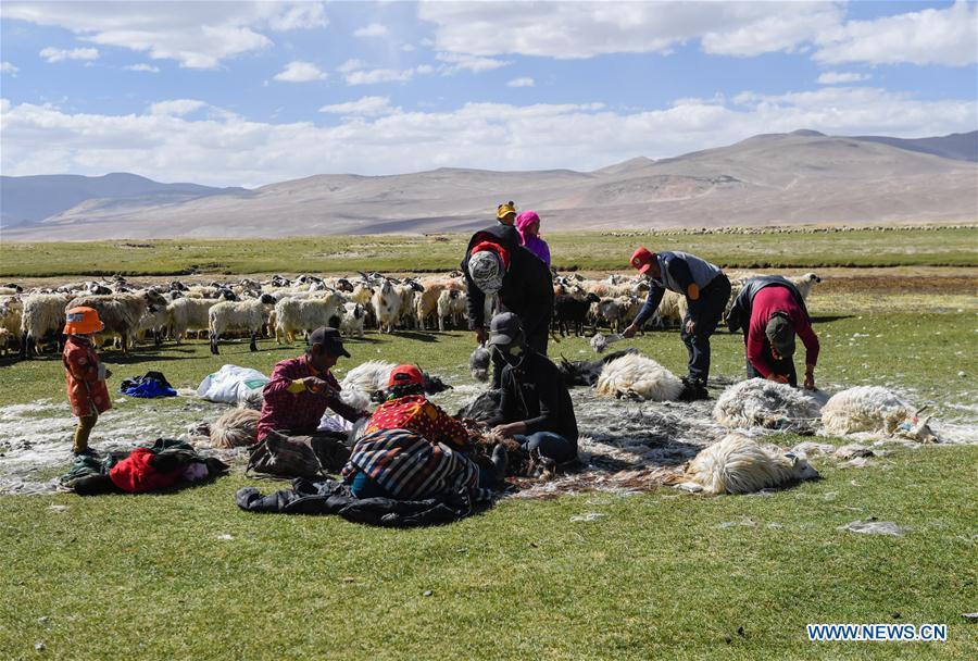 Herdsmen shear goats in Tangxi Village, Xigaze, southwest China\'s Tibet Autonomous Region, June 22, 2018. As the temperature rise, it is the time for shearing in Xigaze. (Xinhua/Liu Dongjun)