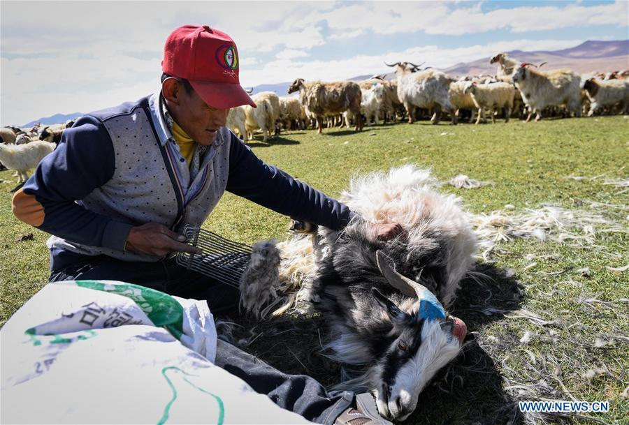 A herdsman shears a goat in Tangxi Village, Xigaze, southwest China\'s Tibet Autonomous Region, June 22, 2018. As the temperature rise, it is the time for shearing in Xigaze. (Xinhua/Liu Dongjun)