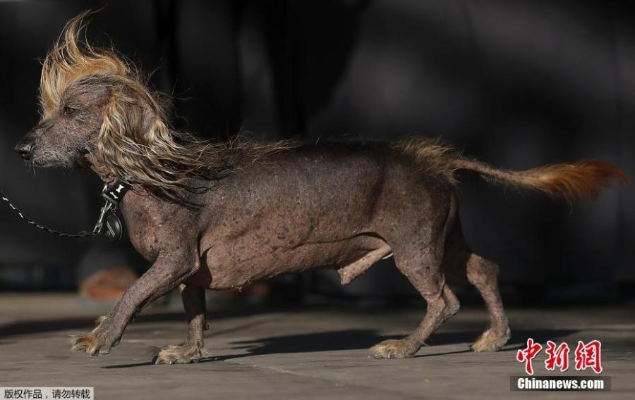 Himisaboo, Chinese Crested and Dachshund mix, walks onstage during the World\'s Ugliest Dog Contest at the Sonoma-Marin Fair in Petaluma, Calif., June 23, 2018. (Photo/Agencies)