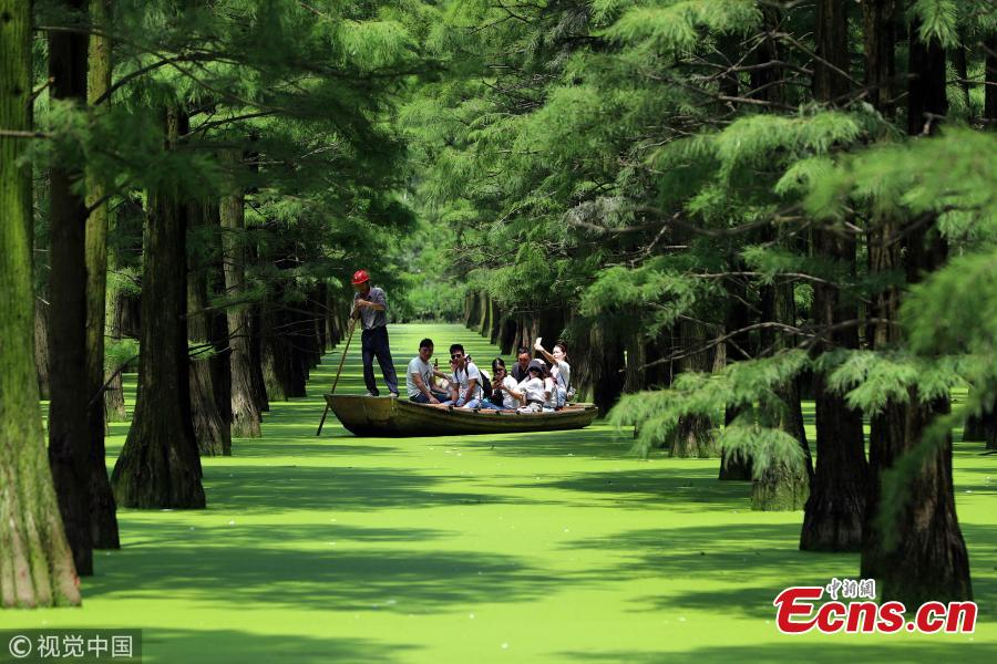 Tourists visit the Zhangdu Lake wetland by boat in Xinzhou District, Wuhan City, Central China's Hubei Province. Tens of thousands of Chinese sequoias, growing in the one-meter-deep water, make visitors to feel like drifting in a magical floating forest. (Photo/VCG)