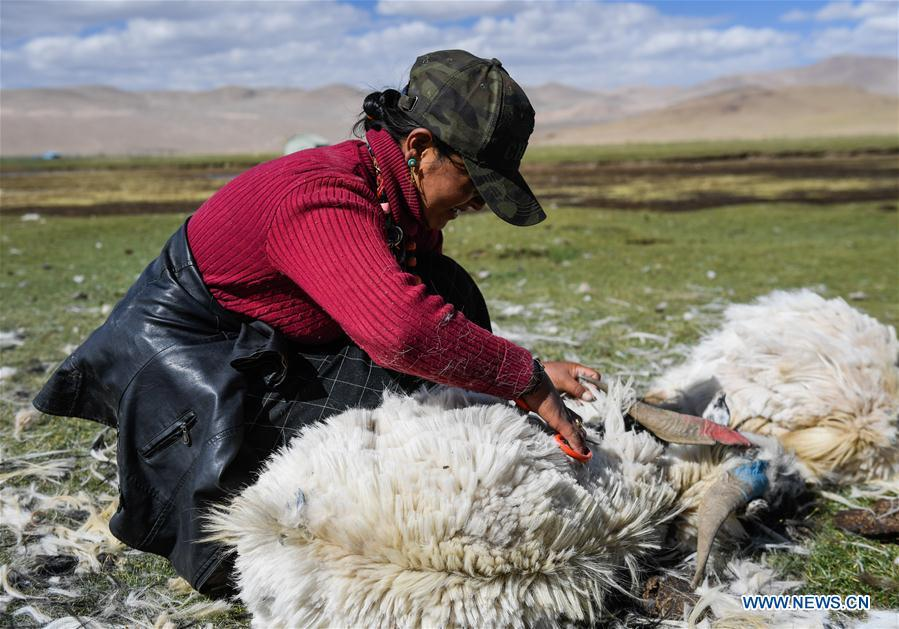 A woman shears a goat in Tangxi Village, Xigaze, southwest China\'s Tibet Autonomous Region, June 22, 2018. As the temperature rise, it is the time for shearing in Xigaze. (Xinhua/Liu Dongjun)