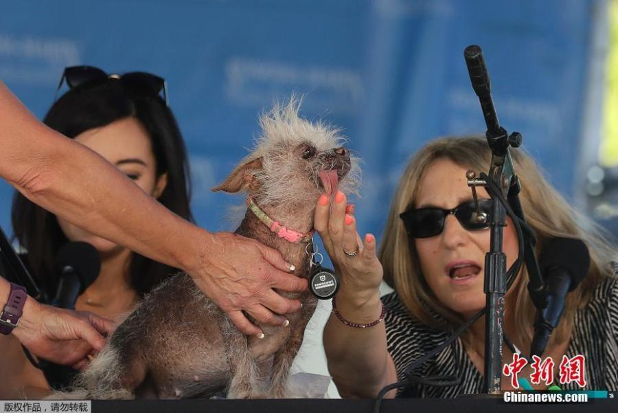 Josie, a Chinese Crested mix, is checked by judges Debbie Abrams, right, and Jo Ling Kent during the World\'s Ugliest Dog Contest at the Sonoma-Marin Fair in Petaluma, Calif., June 23, 2018. Josie finished third in the contest. (Photo/Agencies)