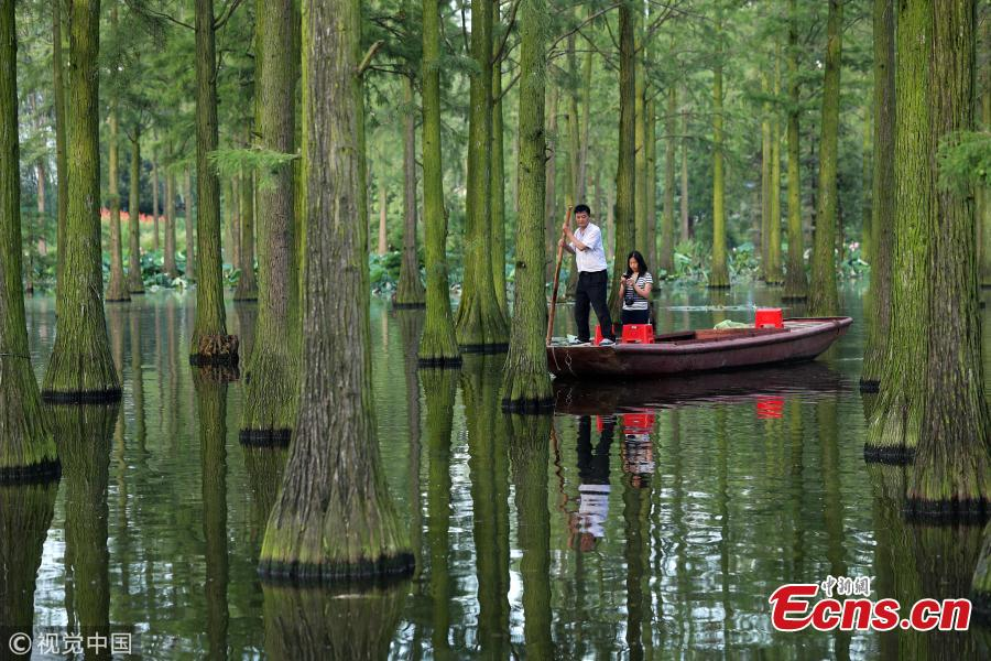 A tourist visits the Zhangdu Lake wetland by boat in Xinzhou District, Wuhan City, Central China's Hubei Province. Tens of thousands of Chinese sequoias, growing in the one-meter-deep water, make visitors to feel like drifting in a magical floating forest. (Photo/VCG)