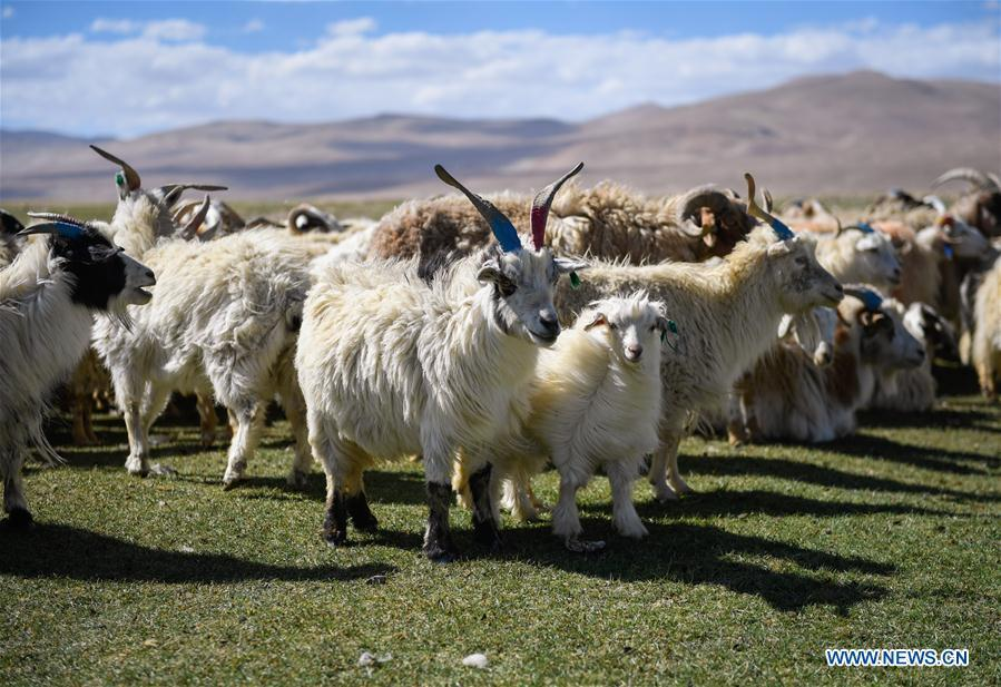 Goats are seen before shearing in Tangxi Village, Xigaze, southwest China\'s Tibet Autonomous Region, June 22, 2018. As the temperature rise, it is the time for shearing in Xigaze. (Xinhua/Liu Dongjun)