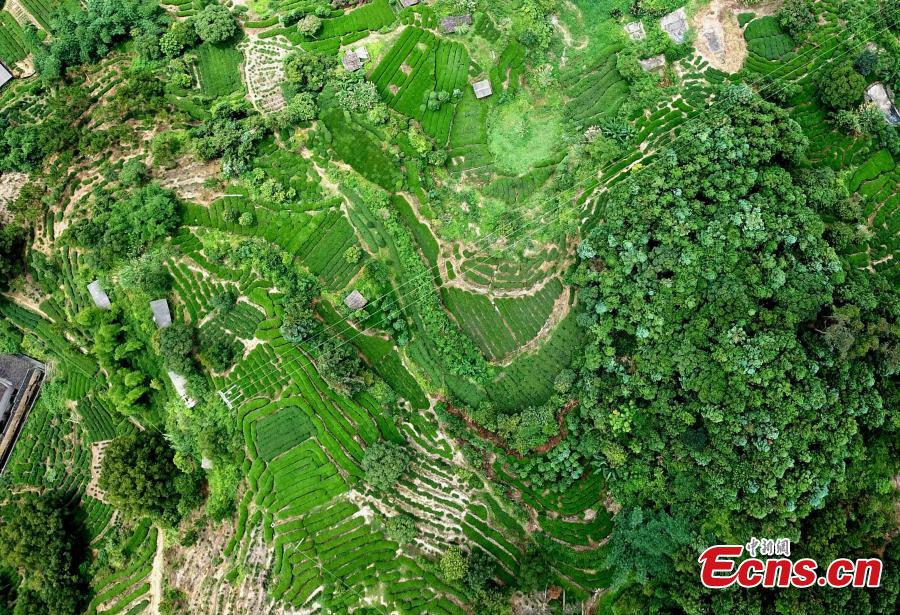 Photo taken in Mid-June shows the tea plantation on a mountain at Huotong Town, Ningde City, Fujian Province. (Photo: China News Service/Wang Dongming)