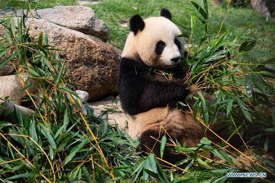 Female giant panda Xinxin eats bamboo stems in Macao, south China, June 26, 2018. The twin panda brothers Jianjian and Kangkang celebrated their second birthday on Tuesday. Xinxin gave birth to the pair of male twin cubs on June 26, 2016. (Xinhua/Cheong Kam Ka)