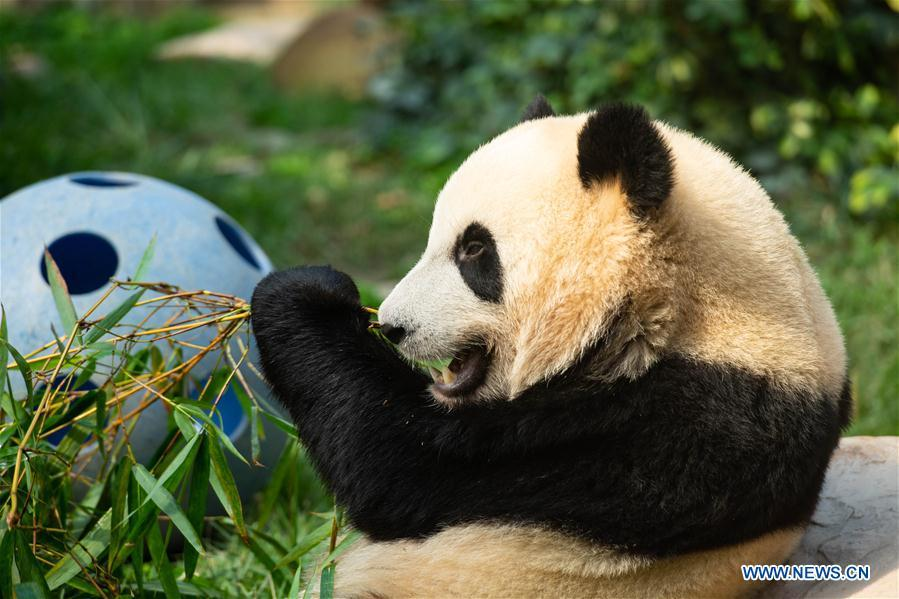 Giant panda Jianjian eats bamboo in Macao, south China, June 26, 2018. The twin panda brothers Jianjian and Kangkang celebrated their second birthday on Tuesday. A female panda Xinxin gave birth to the pair of male twin cubs on June 26, 2016. (Xinhua/Cheong Kam Ka)