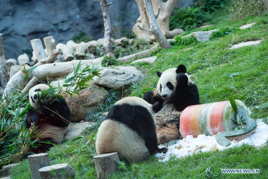 Photo taken on June 26, 2018 shows giant panda Jianjian (R), Kangkang (C) and their mother Xinxin in Macao, south China. The twin brothers Jianjian and Kangkang celebrated their second birthday on Tuesday. Xinxin gave birth to the pair of male twin cubs on June 26, 2016. (Xinhua/Cheong Kam Ka)