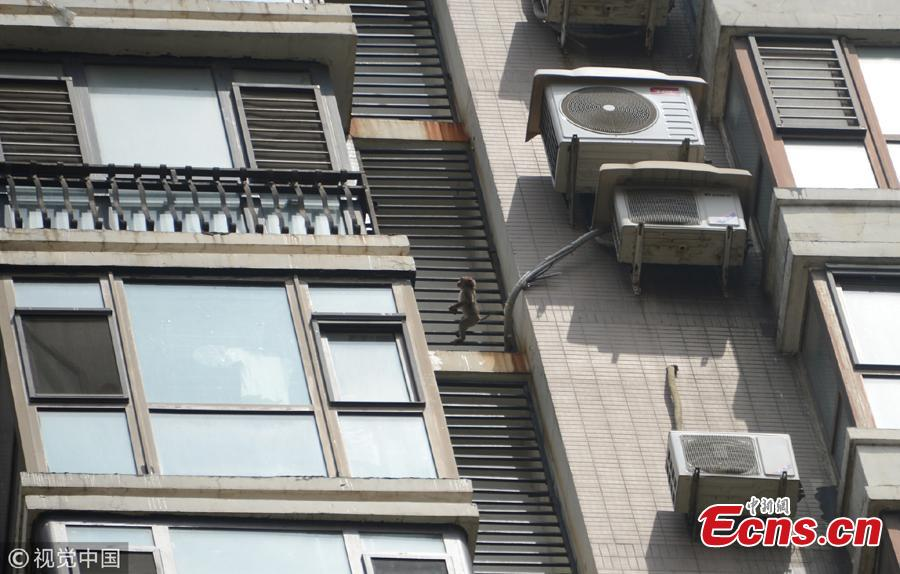 A macaque monkey wanders on a balcony of a high-rise building in Shenyang City, Northeast China's Liaoning Province. The monkey had been on the balconies of the 20-plus floor building for three days before the property management company and a wildlife center helped capture the animal. The monkey will be sent to a rescue center after a physical check.  (Photo/VCG)