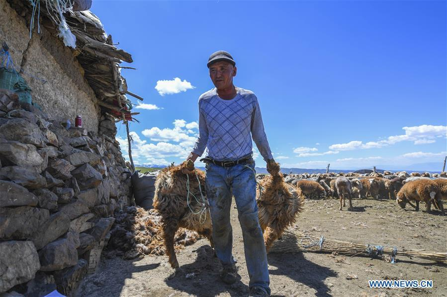 A herdsman prepares to shear his sheep at the summer pasture on the Barlik Mountain in Yumin County, northwest China\'s Xinjiang Uygur Autonomous Region, June 23, 2018. Local herdsmen have transferred their livestock to summer pastures on the Barlik Mountain since late June and will stay here until September. Local authorities has devoted efforts in recent years to protect the ecological environment on the pasture and upgrade driveways to improve the infrastructure construction in the pasturing area. (Xinhua/Hu Huhu)