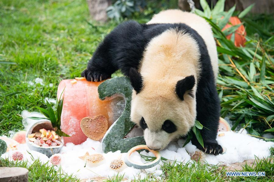 Giant panda Kangkang eats a birthday \