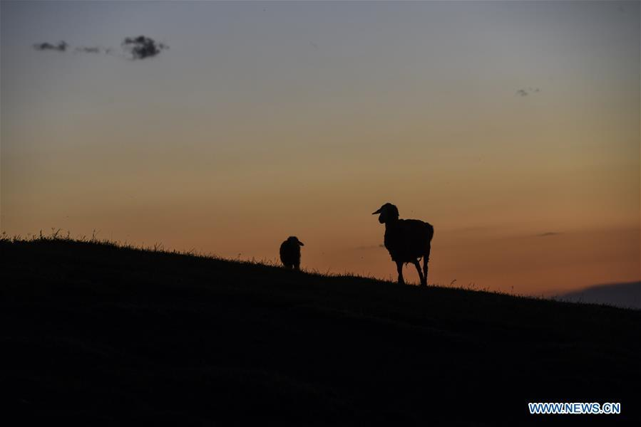 Sheep are seen at the summer pasture on the Barlik Mountain in Yumin County, northwest China\'s Xinjiang Uygur Autonomous Region, June 22, 2018. Local herdsmen have transferred their livestock to summer pastures on the Barlik Mountain since late June and will stay here until September. Local authorities has devoted efforts in recent years to protect the ecological environment on the pasture and upgrade driveways to improve the infrastructure construction in the pasturing area. (Xinhua/Hu Huhu)
