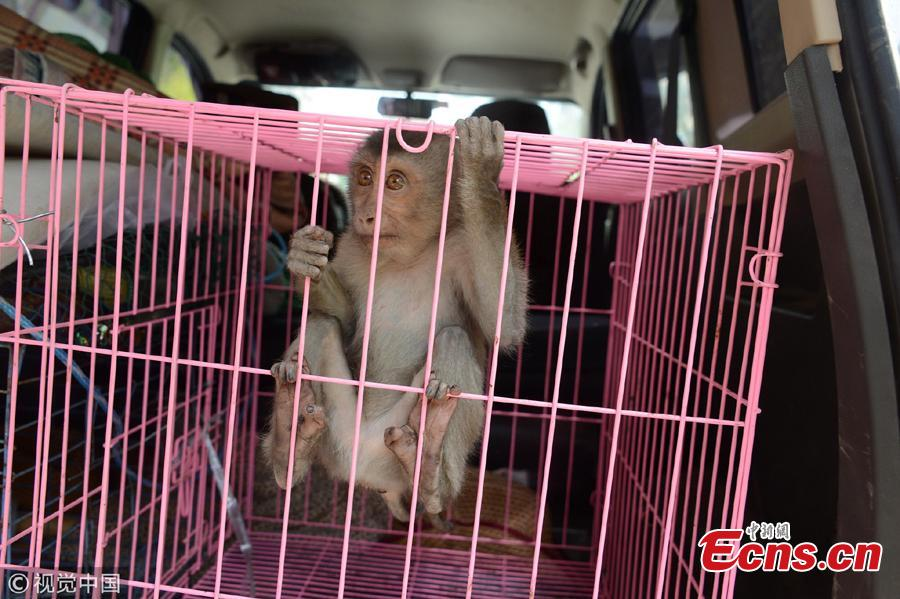 A macaque monkey is caged after it wandered on balconies of a high-rise building in Shenyang City, Northeast China's Liaoning Province. The monkey had been on the balconies of the 20-plus floor building for three days before the property management company and a wildlife center helped capture the animal. The monkey will be sent to a rescue center after a physical check.  (Photo/VCG)