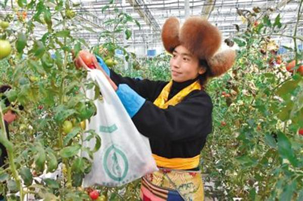 A woman picks up tomato at Zhizhao Pure Land agricultural technology demonstration center in Lhasa, Tibet autonomous region, Feb. 10, 2016. (Photo/people.com.cn)