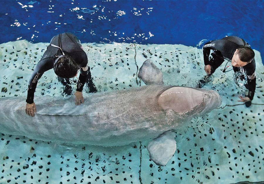 Trainers from Chengfeng Ocean World in Shanghai work with Little Grey. (Photo: SEA LIFE TRUST Beluga Whale Sanctuary/for China Daily)