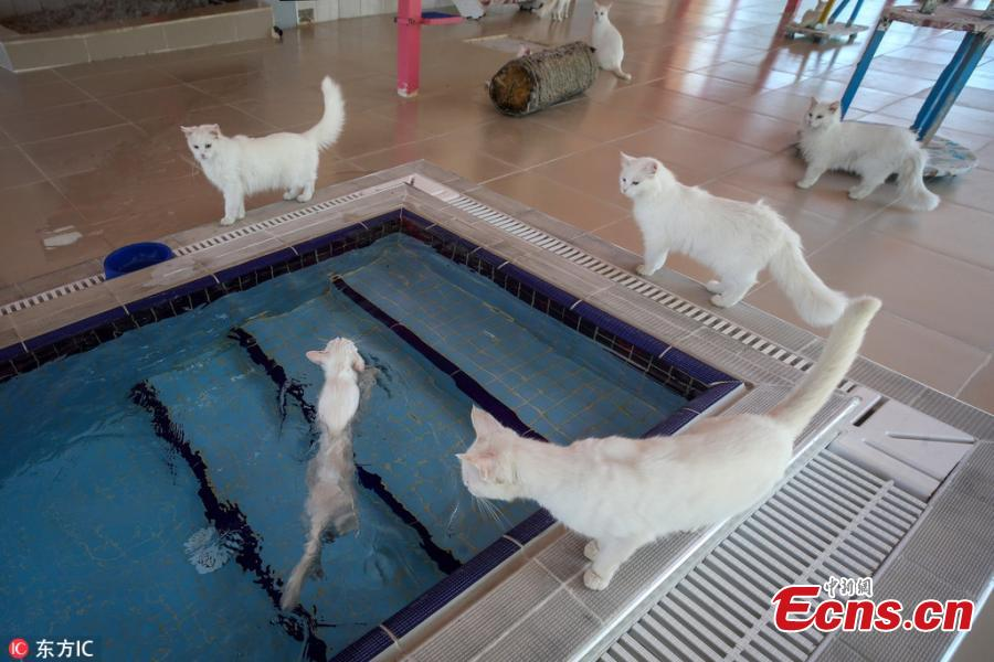 The Van Cat House, run by Yuzuncu Yil University, has built specially designed swimming pools for Van cats, a Turkish breed known for their love of water and swimming, in Van, eastern Turkey. It is currently home to 160 Turkish Van cats. (Photo/IC)