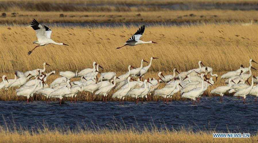 White cranes fly over the Melmeg Wetland in northeast China\'s Jilin Province, April 26, 2018. Comprehensive progress has been made since the report delivered at the 18th National Congress of the Communist Party of China (CPC) in 2012 included ecological development as a major task in the country\'s overall plan and proposed building a \