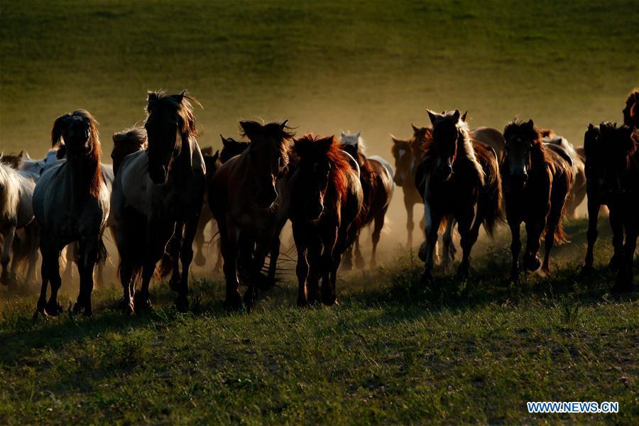 Horses run on a grassland in Hexigten Qi of Chifeng City, north China\'s Inner Mongolia Autonomous Region, June 29, 2018. (Xinhua/Yu Dongsheng)