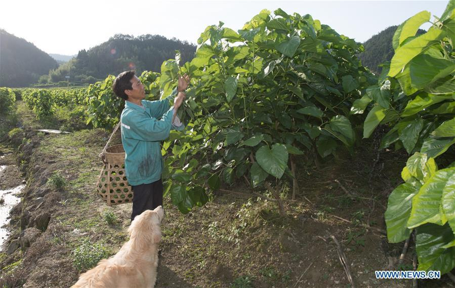 Wang Tiangui collects mulberry leaves to feed silkworms at a silkworm breeding base of Cathaya Group in Wangcun Village of Chun\'an County, east China\'s Zhejiang Province, May 9, 2018. Chun\'an County cooperated with Cathaya Group in building silkworm breeding bases to produce high quality cocoon and silk products. To date, about 4,000 hectares mulberry bushes have been cultivated and some 300 tonnes raw silk are produced per year. (Xinhua/Weng Xinyang)