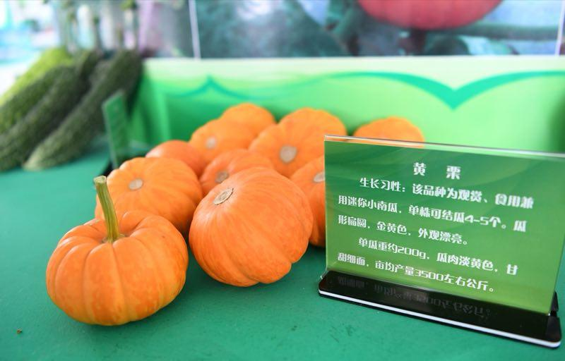 Mini-pumpkins are on display at the exhibit. (Photo by Lang Kai)