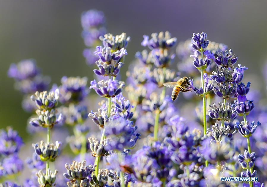 A bee drones among the lavender fields in the Ili River valley in Qapqal Xibe Autonomous County, Kazak Autonomous Prefecture of Ili, northwest China\'s Xinjiang Uygur Autonomous Region, June 27, 2018. Lavenders bloom in the Ili River valley. (Xinhua/Zhao Ge)