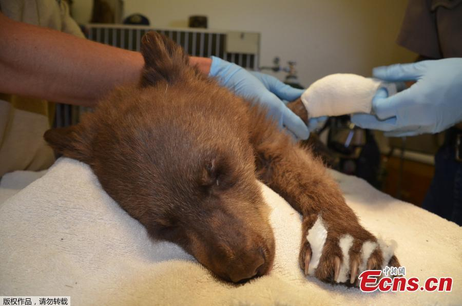 A female bear cub lies on a table with bandages on her burned paws in Del Norte, Colo., June 27, 2018. The cub, rescued on June 22, 2018 from a wildfire north of Durango, Colo., is being treated at a Colorado Parks and Wildlife facility in Del Norte and is expected to recover and to be returned to the wild. (Photo/Agencies)