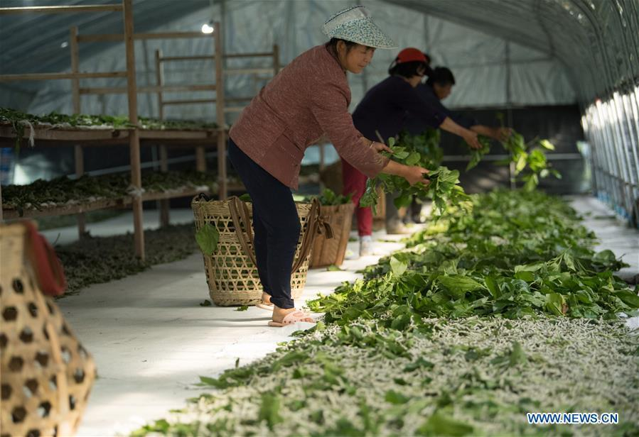 Workers feed silkworms with mulberry leaves at a silkworm breeding base of Cathaya Group in Wangcun Village of Chun\'an County, east China\'s Zhejiang Province, May 9, 2018. Chun\'an County cooperated with Cathaya Group in building silkworm breeding bases to produce high quality cocoon and silk products. To date, about 4,000 hectares mulberry bushes have been cultivated and some 300 tonnes raw silk are produced per year. (Xinhua/Weng Xinyang)