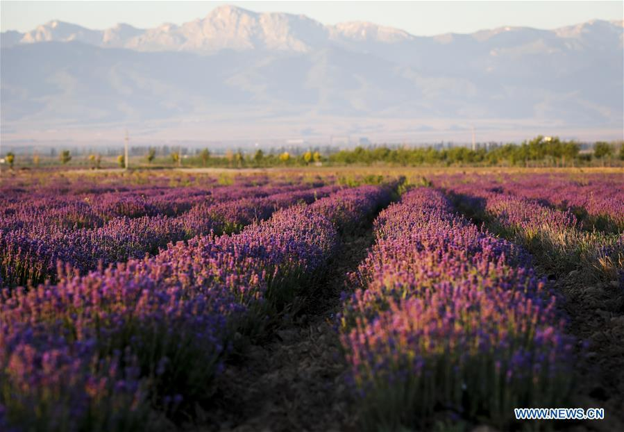 Lavenders bloom in the Ili River valley in Qapqal Xibe Autonomous County, Kazak Autonomous Prefecture of Ili, northwest China\'s Xinjiang Uygur Autonomous Region, June 27, 2018. (Xinhua/Zhao Ge)