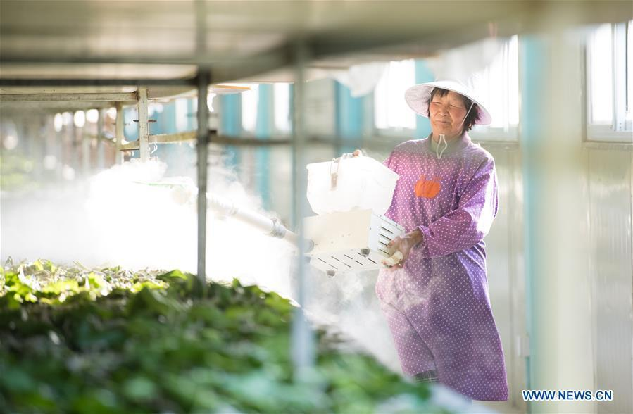 A worker sprays disinfectant at a silkworm breeding base of Cathaya Group in Xiajiang Village of Chun\'an County, east China\'s Zhejiang Province, May 9, 2018. Chun\'an County cooperated with Cathaya Group in building silkworm breeding bases to produce high quality cocoon and silk products. To date, about 4,000 hectares mulberry bushes have been cultivated and some 300 tonnes raw silk are produced per year. (Xinhua/Weng Xinyang)