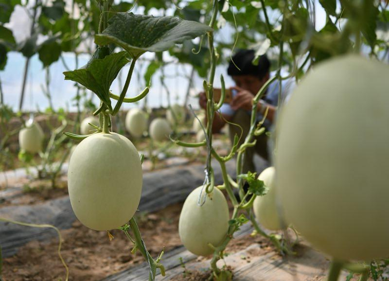 Melons are on display at an exhibition displaying vegetables and fruits varieties that have been experimented in space, in Yinchuan, Ningxia Hui autonomous region, on June 29, 2018. More and more \