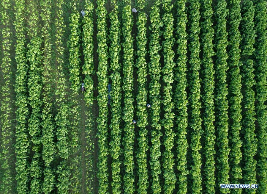 Workers collect mulberry leaves to feed silkworms at a silkworm breeding base of Cathaya Group in Xiajiang Village of Chun\'an County, east China\'s Zhejiang Province, May 9, 2018. Chun\'an County cooperated with Cathaya Group in building silkworm breeding bases to produce high quality cocoon and silk products. To date, about 4,000 hectares mulberry bushes have been cultivated and some 300 tonnes raw silk are produced per year. (Xinhua/Weng Xinyang)