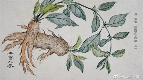 A painting by Qing Dynasty artist Huang Yue portrays ginseng. (Photo/Official Weibo account of the Palace Museum)