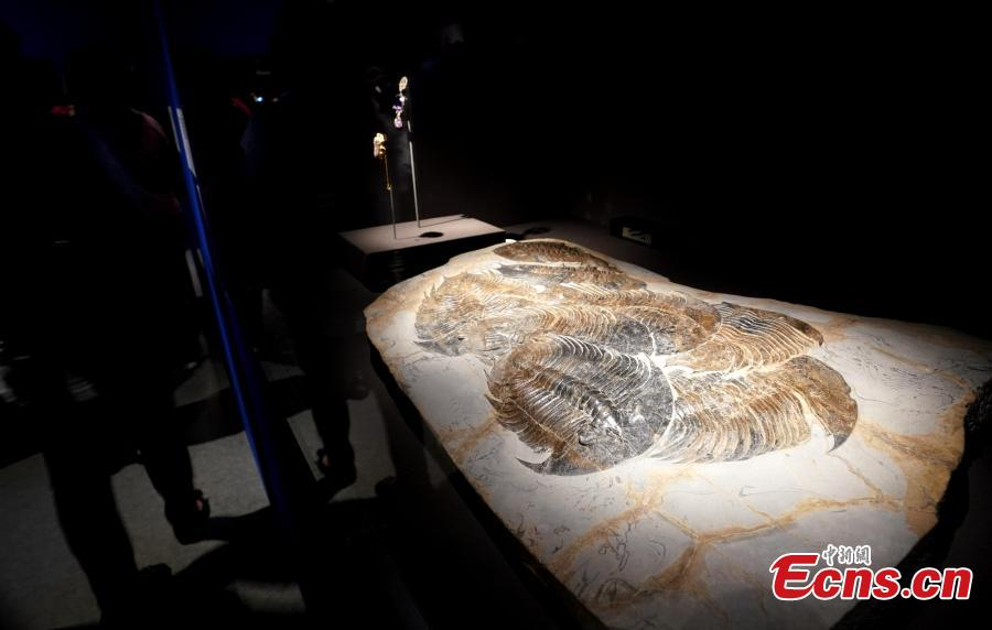 Giant fossilized trilobites on display in the Treasures of the Natural World exhibition in Taipei, July 3, 2018. London's Natural History Museum presented 227 peculiar exhibits for the exhibition, each showcasing a different aspect of natural history. (Photo: China News Service/Zhang Yu)
