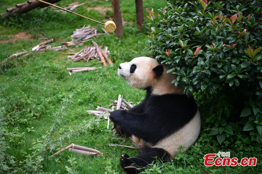 A keeper dressed in a panda uniform delivers a snack to a giant panda with the help of a bamboo stick at the Yunnan Wildlife Park in Kunming City, Southwest China's Yunnan Province, July 3, 2018. The park has opened a panda kitchen where visitors can see how keepers prepare food for the animals and also participate in the preparation process in the future. (Photo: China News Service/Liu Ranyang)