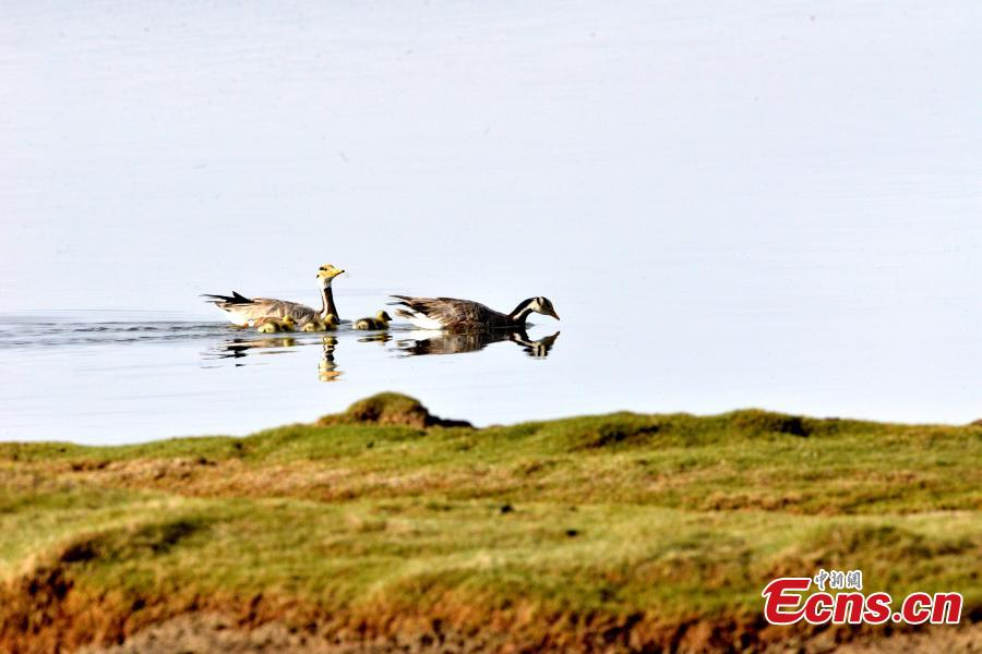 Bar-headed geese are seen at Bande Lake on the Tuotuo River, the headwaters of the Yangtze River in northwest China's Qinghai Province. The lake is home to a large number of bar-headed geese, one of the world\'s highest-flying birds. (Photo: China News Service/Tudandanba)