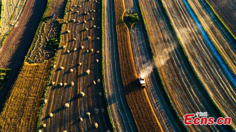Wheat harvesting in Huanxian County, Northwest China's Gansu Province. The county had a bumper harvest of 300,000 mu (2,000 hectares)of wheat. (Photo: China News Service/Zhang Yongxin)