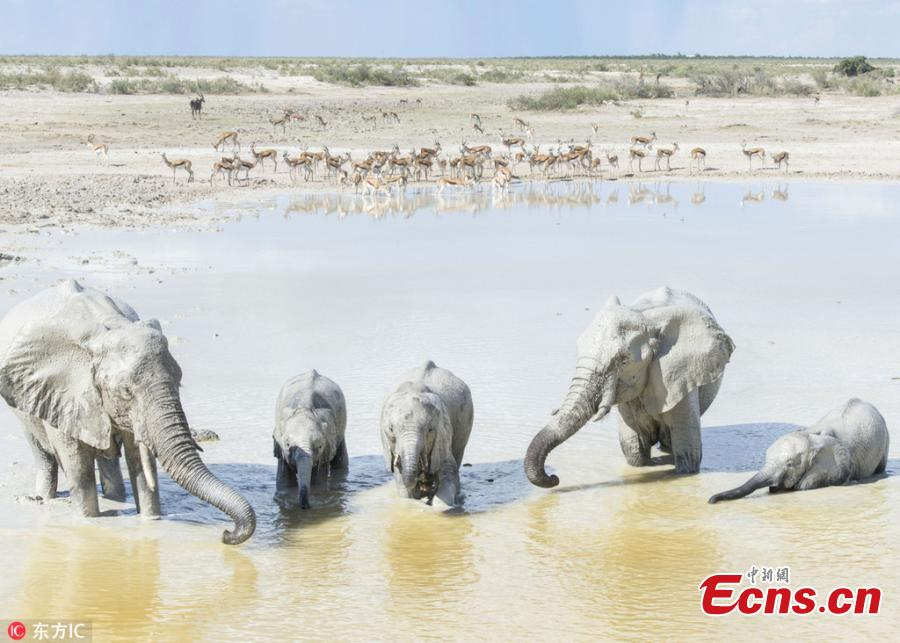 Photo taken by Anja Denker shows elephants use clay from the Etosha Pan ? a 120-kilometre lakebed of salt ? to protect themselves from the fierce sun at the Etosha National Park in northern Namibia. They coat themselves in the clay and calcite sand, which dries in the sun and lends them white appearance. (Photo/IC)