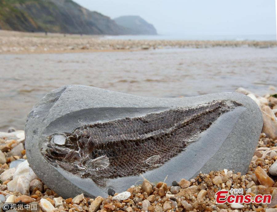 A girl of five discovered a 190million-year-old fish fossil while she and her family were having an ice cream on the Jurassic Coast at Charmouth in Dorset, the U.K. Helena Ashby noticed a small imprint of fish scales protruding from a pebble, and thought there may be more inside. Later a perfectly preserved Pholidophorus was inside the stone. The find was rare because dead fish tend to sink to the bottom of the sea and decompose. (Photo/VCG)