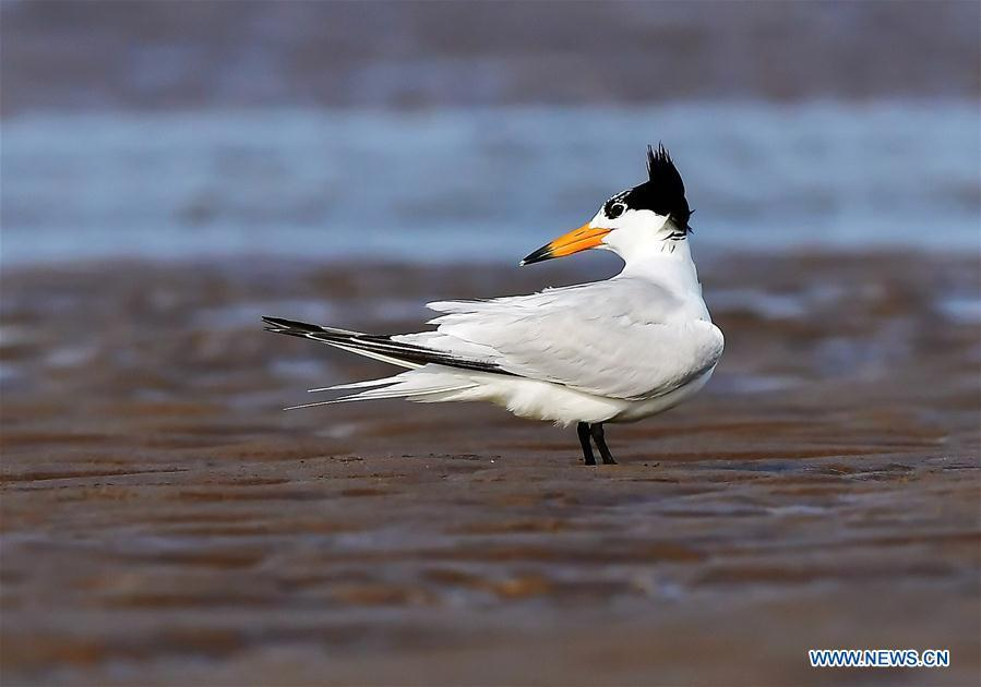 A Chinese crested tern forages on the wetland of the Minjiang River in southeast China\'s Fujian Province, July 4, 2018. The Chinese crested tern is a critically endangered species. (Xinhua/Mei Yongcun)